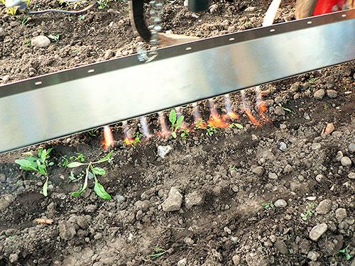 Propane flames killing weed in sugar beet field